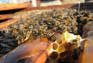 Пивные дрожжи на крыльях пчел